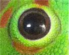 Das hoch entwickelte Auge des grossen Madagaskar Taggeckos (Phelsuma grandis)