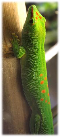 Ein Phelsuma grandis Männchen - Der Grosse Madagaskar Taggecko