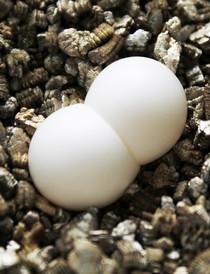 P. grandis Eier auf Vermiculit. Beliebtes Brutsubstrat für Reptilieneier.