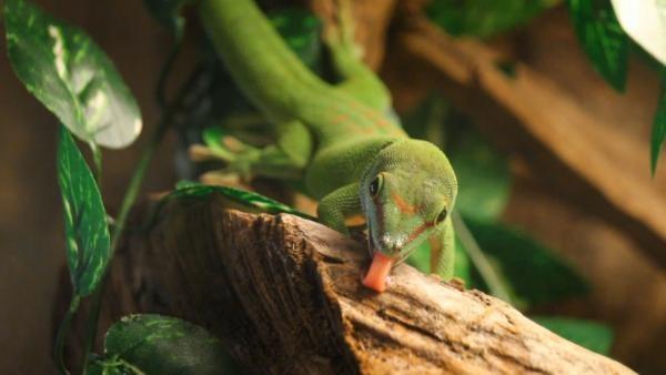 Ein Weibchen des Grossen Madagaskar Taggeckos leckt Brei von der Terrarieneinrichtung