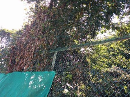 野口さん剪定後の高木