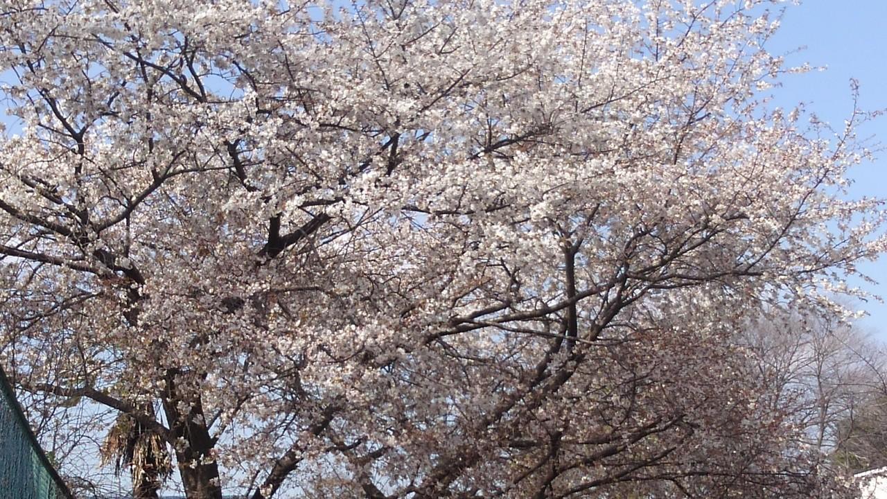コート脇の山桜