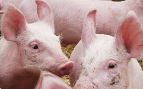 Stellenangebot Projektleiter Stallbau Schwein