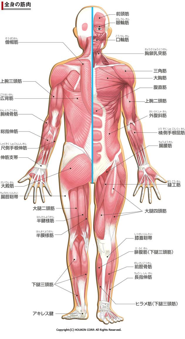 人体 主要な筋肉