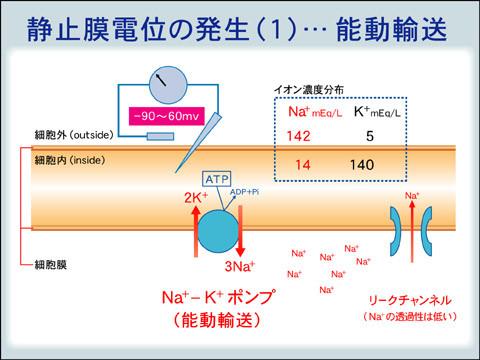 静止膜電位
