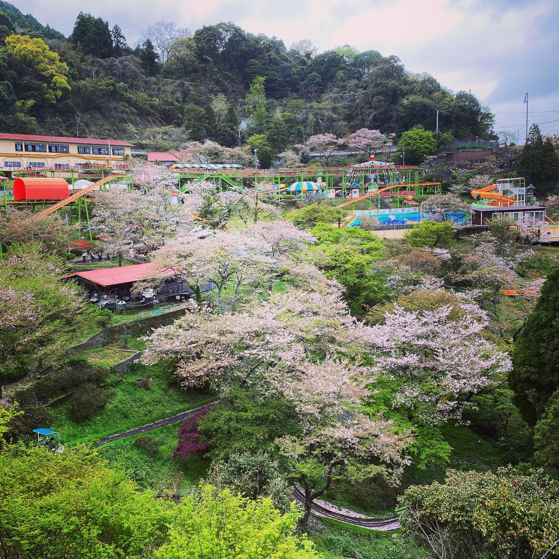 【カボ散歩】別府ラクテンチの桜