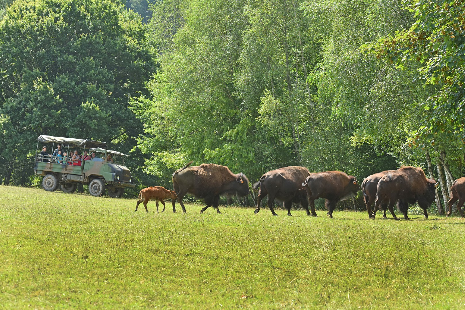 L'élevage de bisons du Palais ©J.DAMASE/PSC