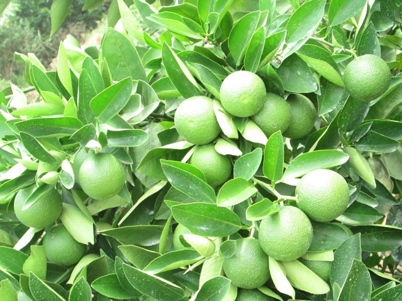 Fruit Project - Oranges