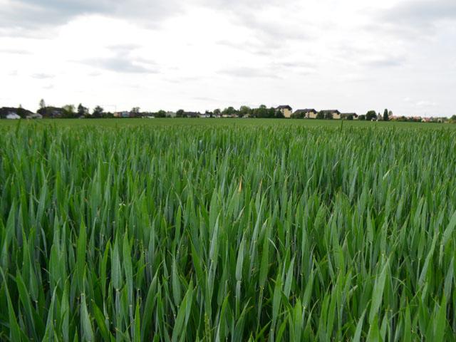 Im Mai wächst auf der Fläche noch der Weizen.