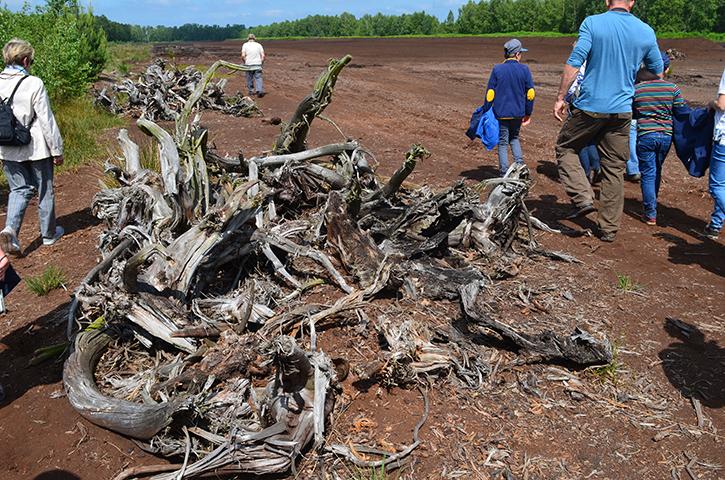 4000 Jahre altes Holz der Moor-Eiche
