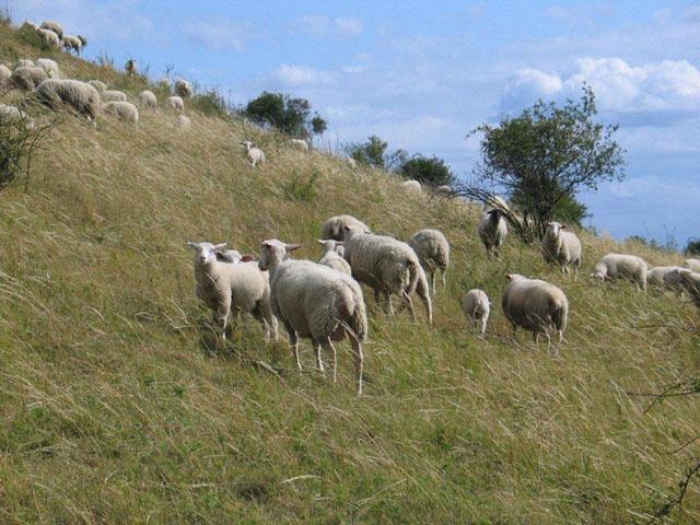 Die Schafe bei der Arbeit