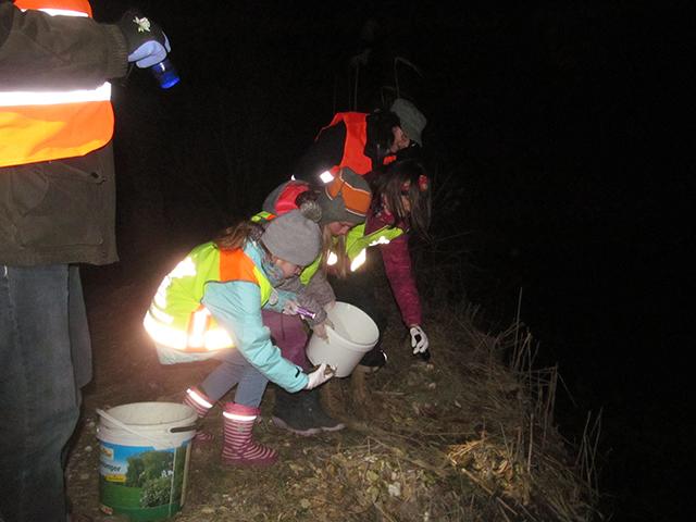Die gesammelten Amphibien werden in das benachbarte Laichgewässer entlassen