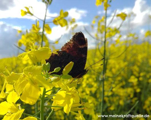 Schmetterling im Rapsfeld, Schmetterling im Frühling, Kraftquelle