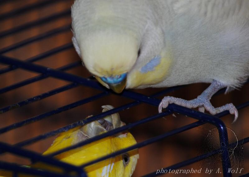 Natürlich hat Nymphi dann sehr gerne nach einer Weile wieder die Fütterung seiner Liebsten übernommen!