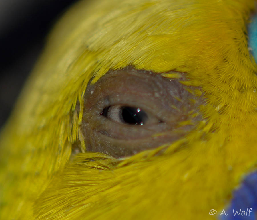 23.11.15 - Schwellung um das Auge herum ist zwar zurückgegangen, jedoch wird das Auge immer noch von innen nach außen gedrückt
