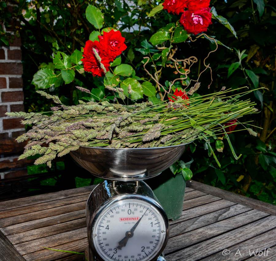 09.06.16 - Heute habe ich jede Menge Knaulgras gepflückt und wieder portionsweise eingefroren für den Herbst/ Winter.