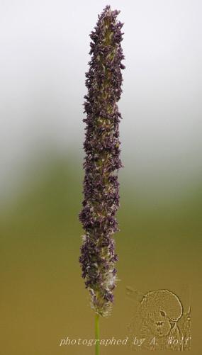 Wiesen-Lieschgras (Timotheegras) - blühend