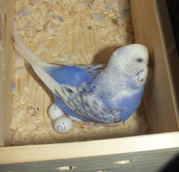 Das ist das Gelege, in dem auch Calimeros Ei zu finden ist. Es war Anfang Februar 2009!