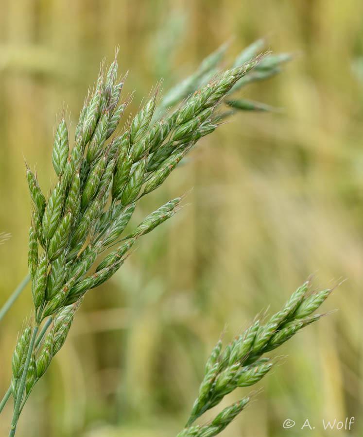 Weiche Trespe (Bromus hordeaceus)  oder Flaum-Trespe  - gehört zu den Süßgräsern
