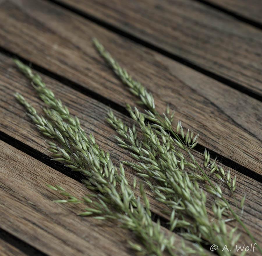 Wiesen-Rispengras (Poa pratensis) gehört zur Familie der Süßgräser (Poaceae)