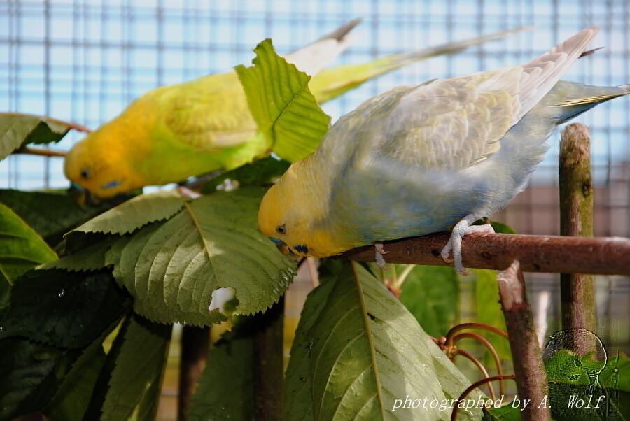 2 Herren der Schöpfung zeigten den Hennen, was zu tun ist. (Typisch Mann)
