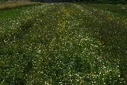 ハーブサプリメント・カモミール