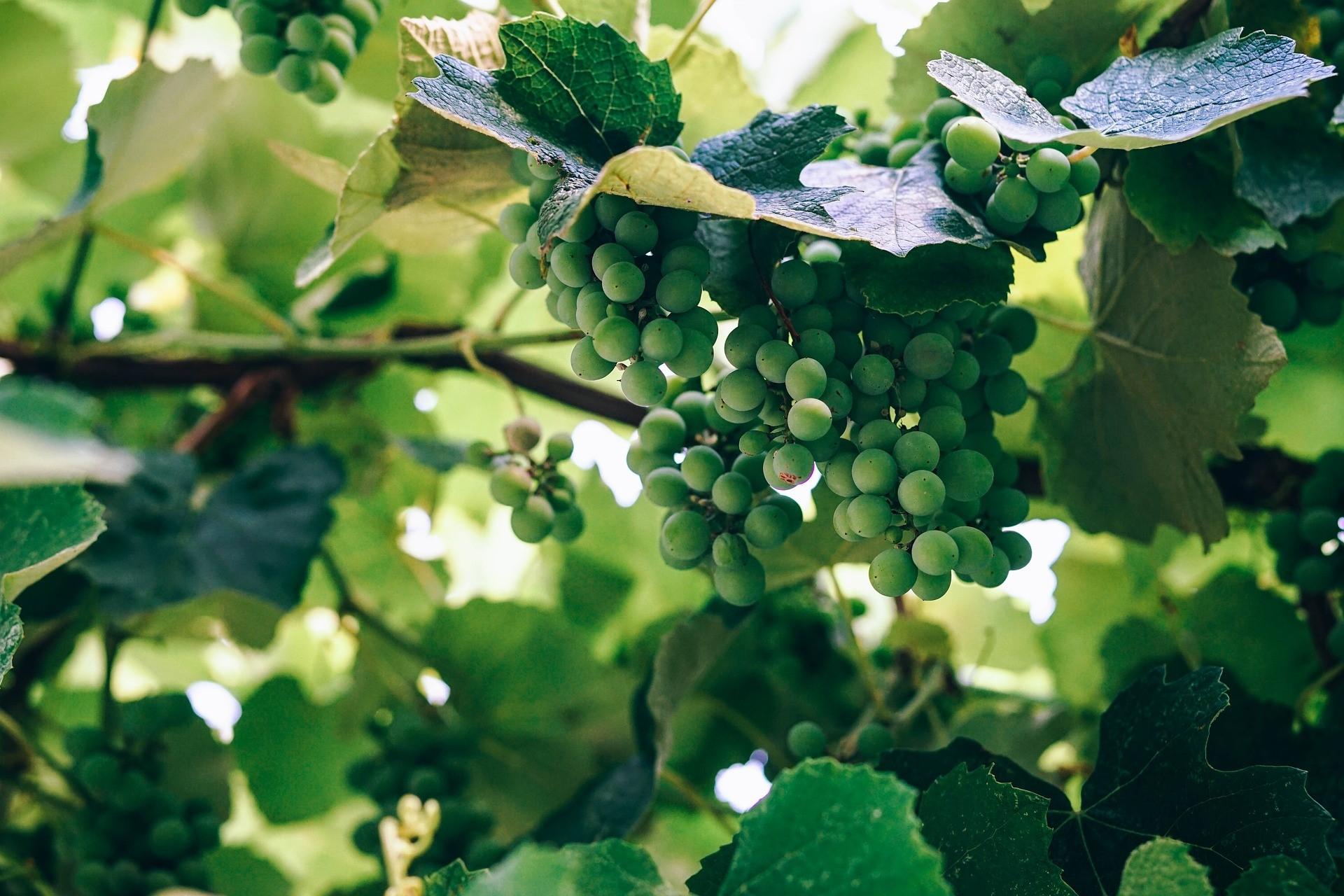 葡萄も化粧品の原料です