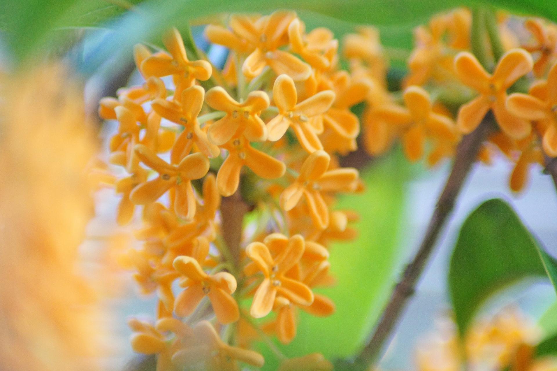 秋の香りは金木犀