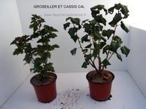 GROSEILLER et CASSIS