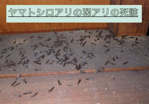 大量のヤマトシロアリの羽アリの死骸