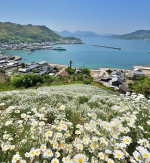 シロバナムシヨケギクが一面に咲いている写真