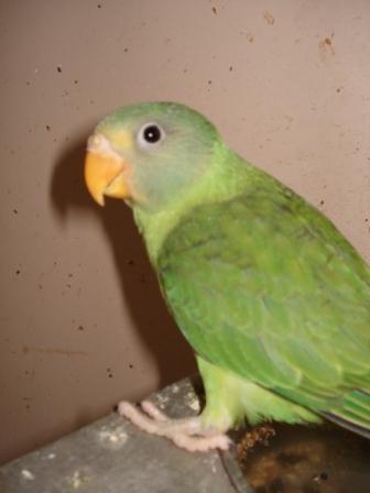 Jungvogel
