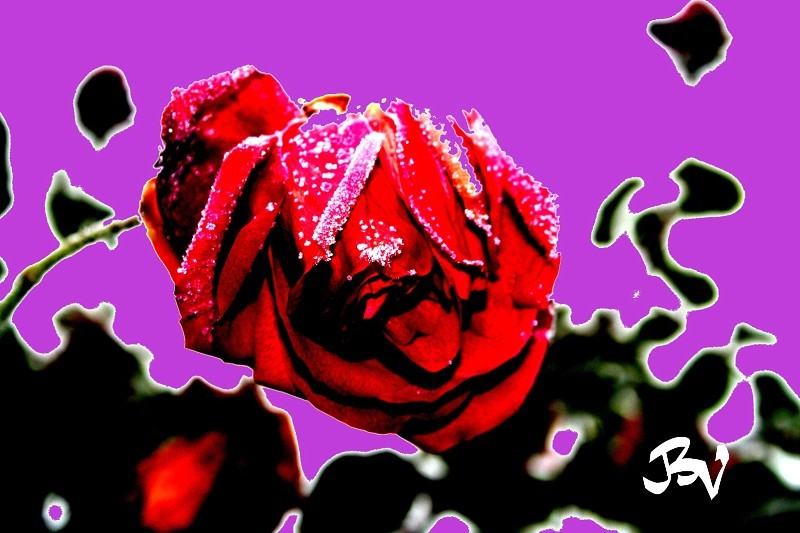 Rose d'hiver