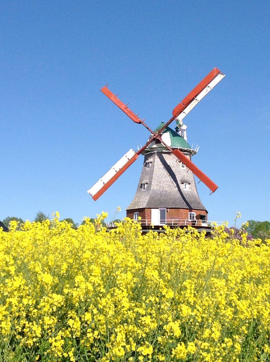 Das Rapsfeld umgibt die Mühle