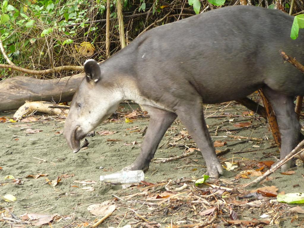 Das groesste Saeugetier Costa Ricas: der Tapir