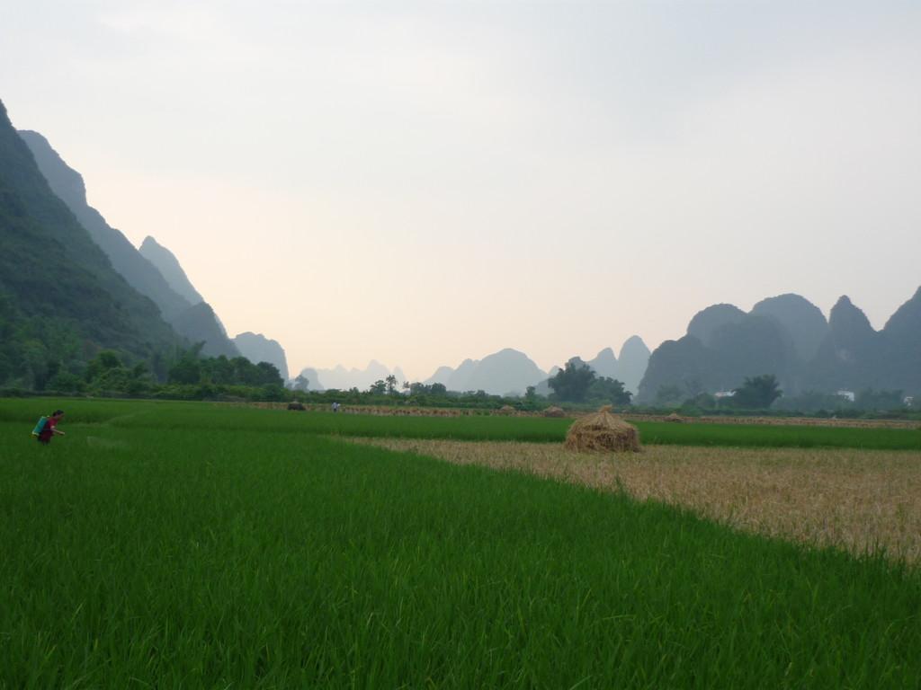 Reisfelder in leuchtendem Gruen
