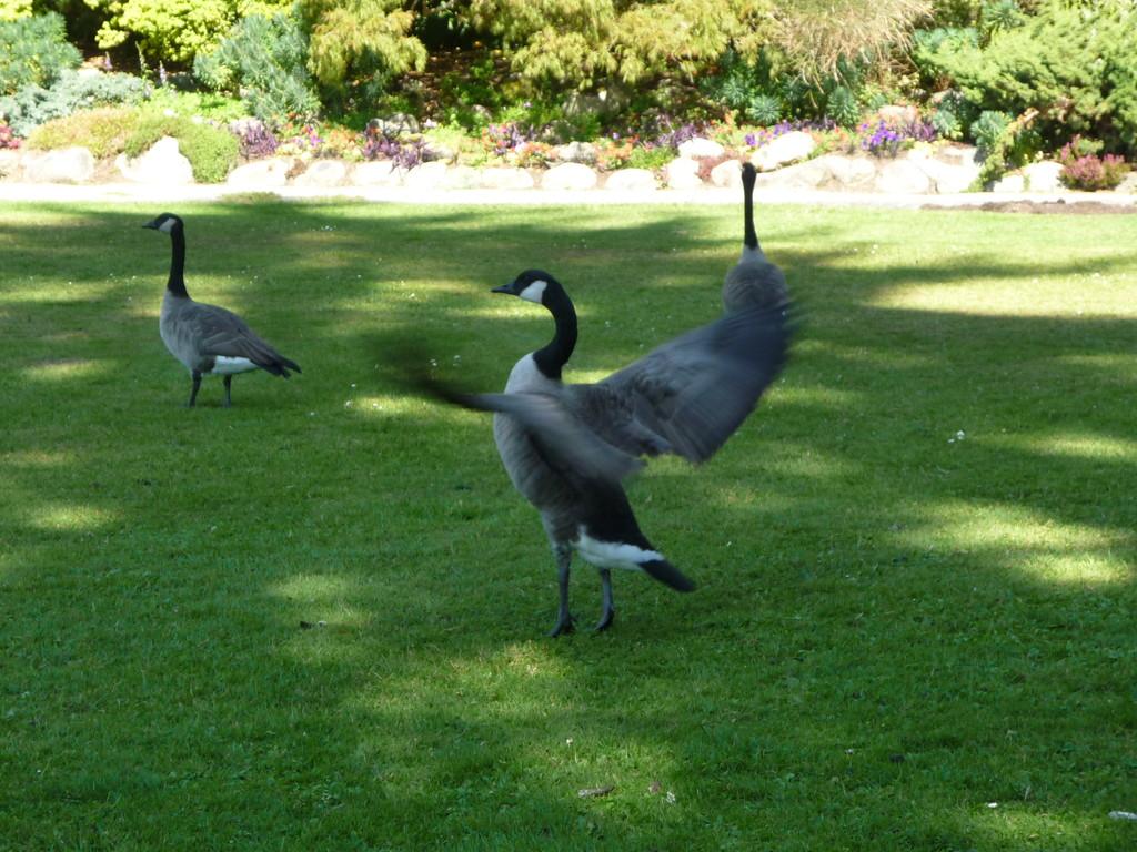 """Die """"Canadian Goose"""" im Stanley Park"""
