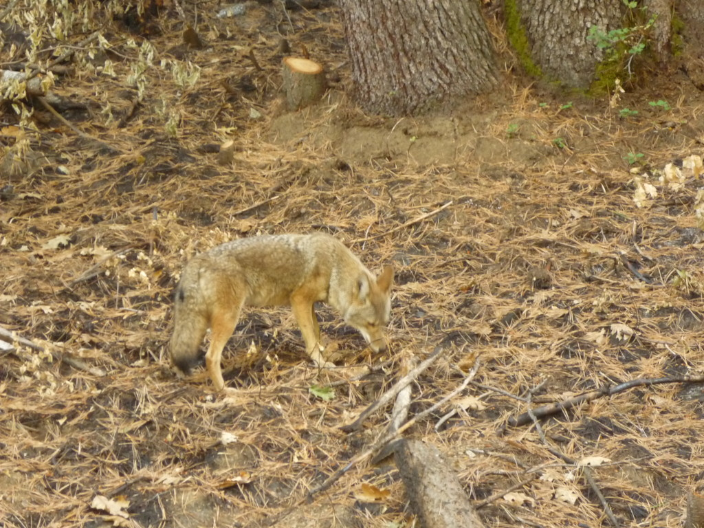 Dieser Fuchs jagte eine Maus ueber die Strasse