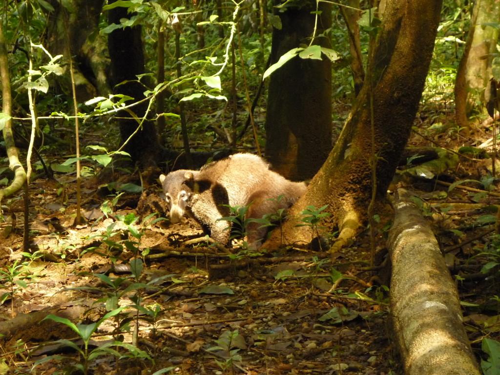 Der Coati, der die Krebse ausgraebt