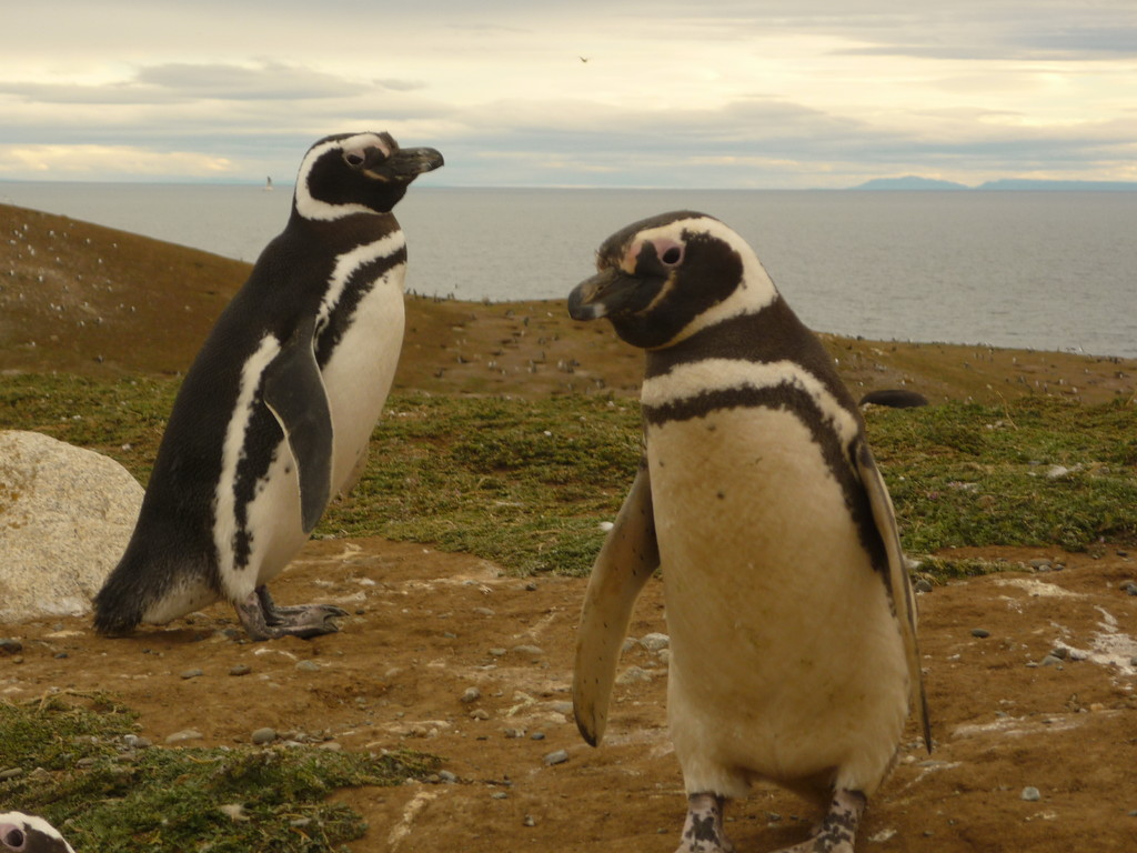 Die Pinguine sind monogam und bleiben sich ein Leben lang treu