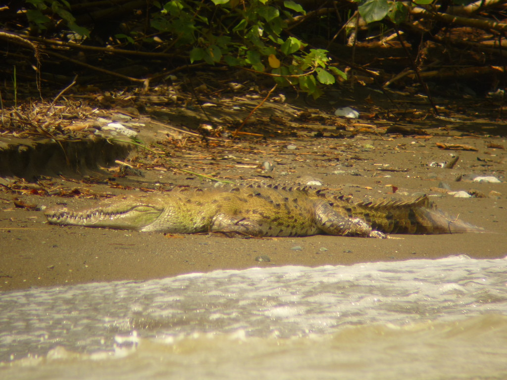 Es sind 2 Amerikanische Krokodile. Hier No. 1