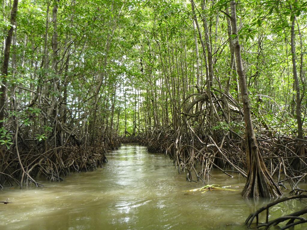 Captain Dago macht einen kleinen Exkurs in die Mangrovenwaelder
