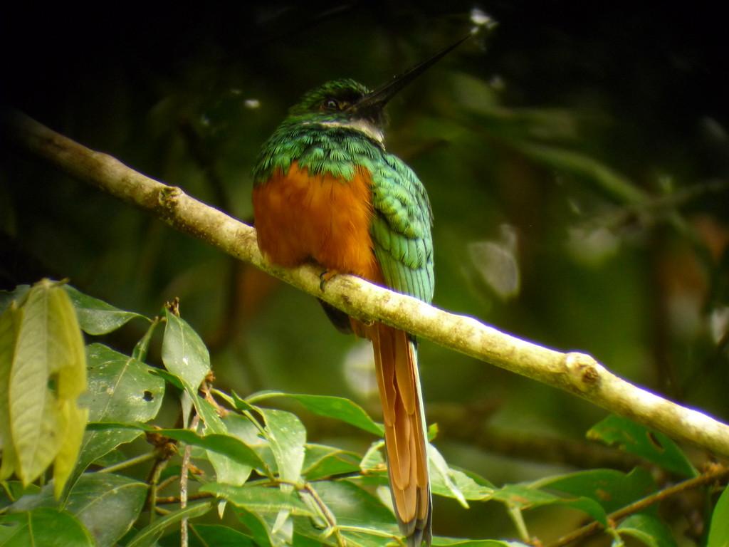 Gehoert zur Familie der Kolibri, ist aber viel groesser