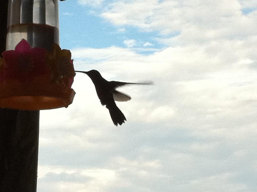 Kolibris werden mit Zuckerwasser gefuettert