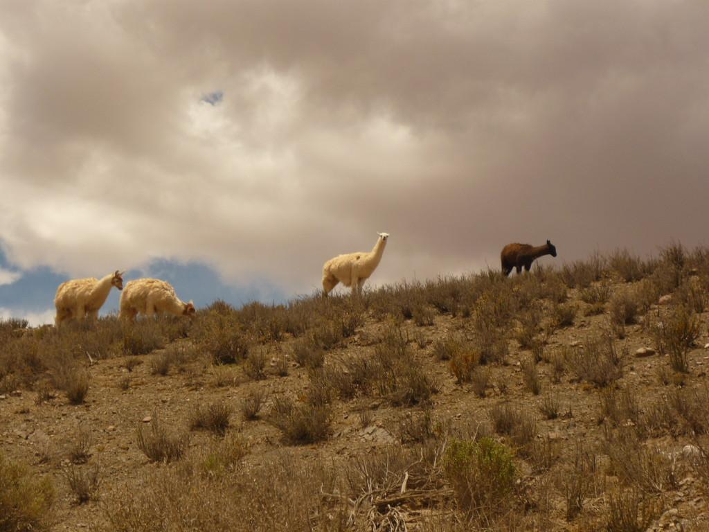 Die Lamas fuehlen sich pudelwohl
