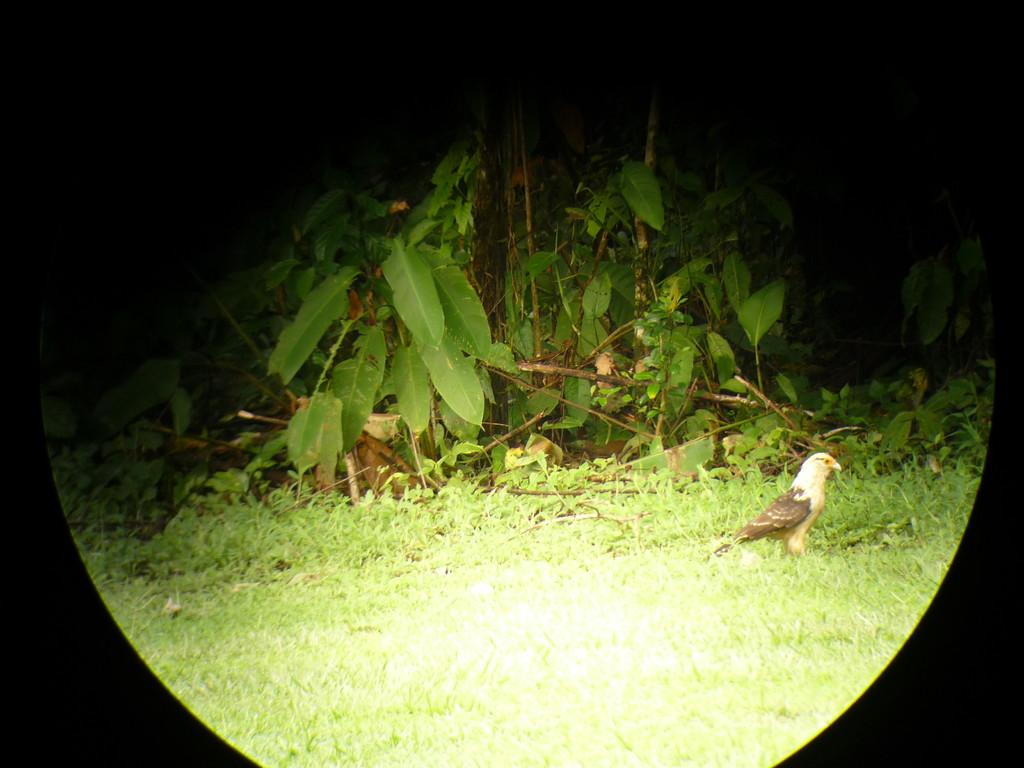 Der Karikari-Vogel landet auf dem kleinen Flugplatz