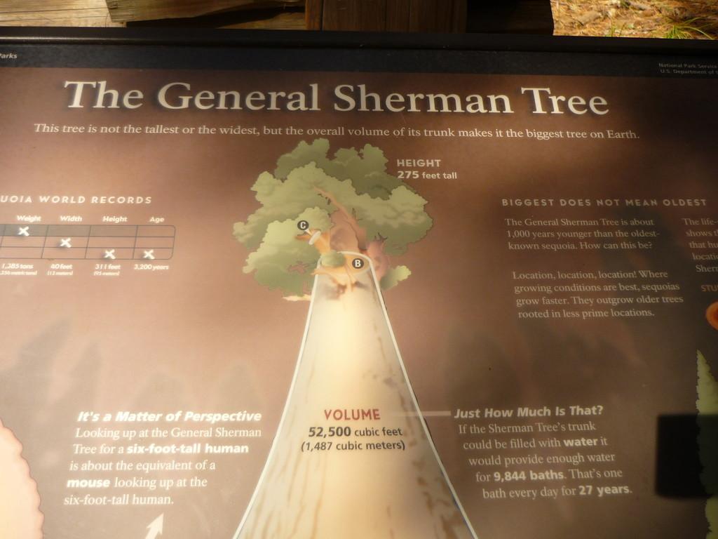 Zweitgroesster Baum der Welt (vom Volumen her)
