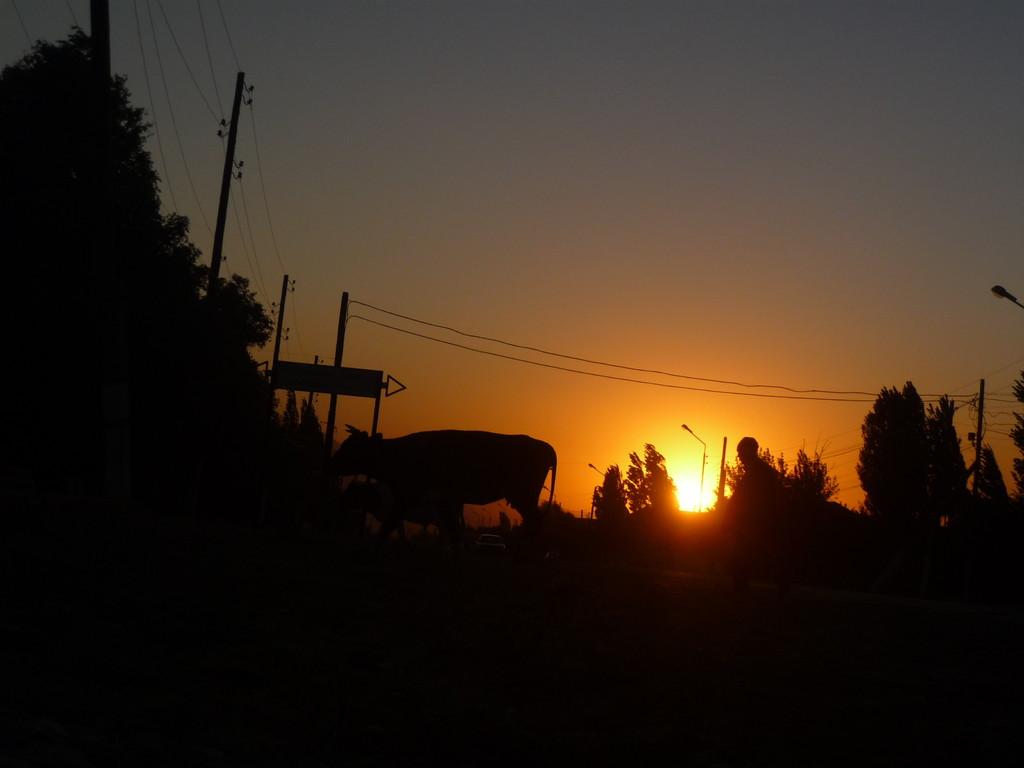 Im Dorf Zhabagly werden am Abend die Tiere in den Stall getrieben