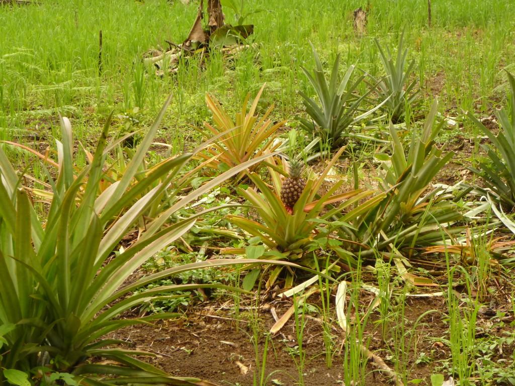 Ananas wachsen in Oldemars Garten