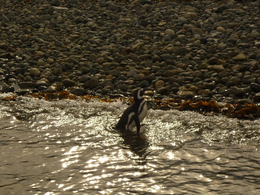 Auf der Isla Magdalena, zu Besuch bei den Magellan Pinguinen